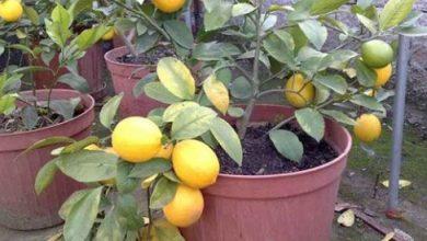 Photo of Limon Ağacı Dikimi, Bakımı ve Yetiştirilmesi Hakkında Bilgiler