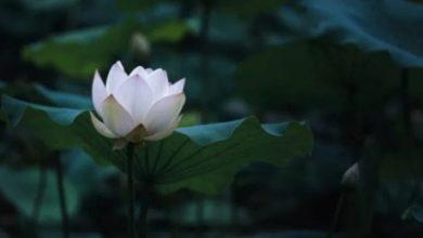 Photo of Nilüfer Çiçeği Yetiştirmek İçin Bilmeniz Gereken 10 Bilgi