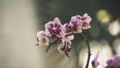 Photo of Orkide Bakımı Nasıl Yapılır? Önemli Bilgiler