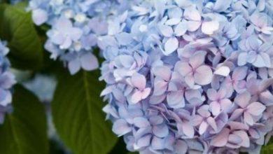 Photo of Ortanca Çiçeği Yetiştirmek İçin 3 Püf Nokta