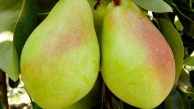 Photo of Süper Meyve Armudun Sağlığa 10 Önemli Faydası